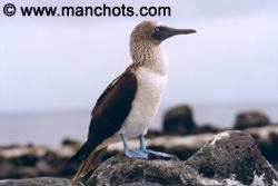 Fou à pattes bleues - Punta Suarez, Isla Espanola (Galápagos)