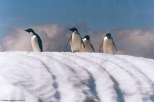 Manchots Adélie - île Penguin (îles Shetland du Sud)