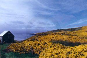 Fleurs d'ajonc - île Carcass (Malouines)