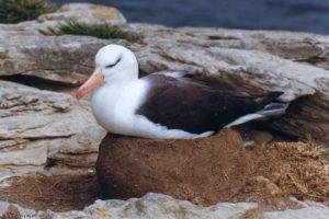 Albatros à sourcils noirs - New Island (Malouines)