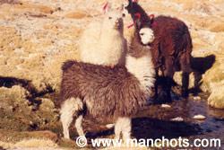 Lamas (Bolivie)