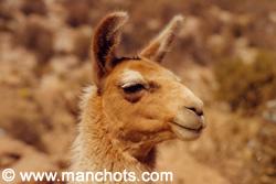 Lama - Parque nacional Lauca (Chili)