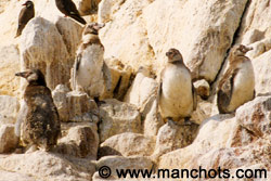 ハンボルト ペンギン (ペルー)