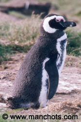 マゼラン ペンギン (パタゴニア - チリ)