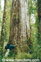アレルセと言う木は2千才以上 (パタゴニア)